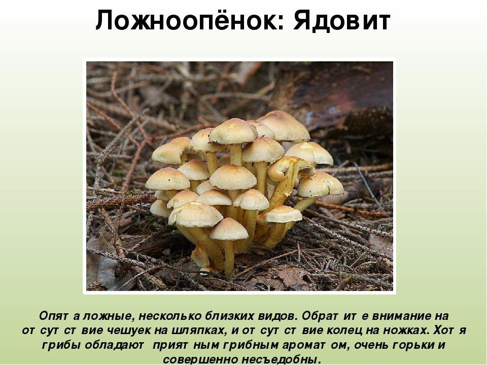 описание и фото съедобных опят лунники желтоватыми