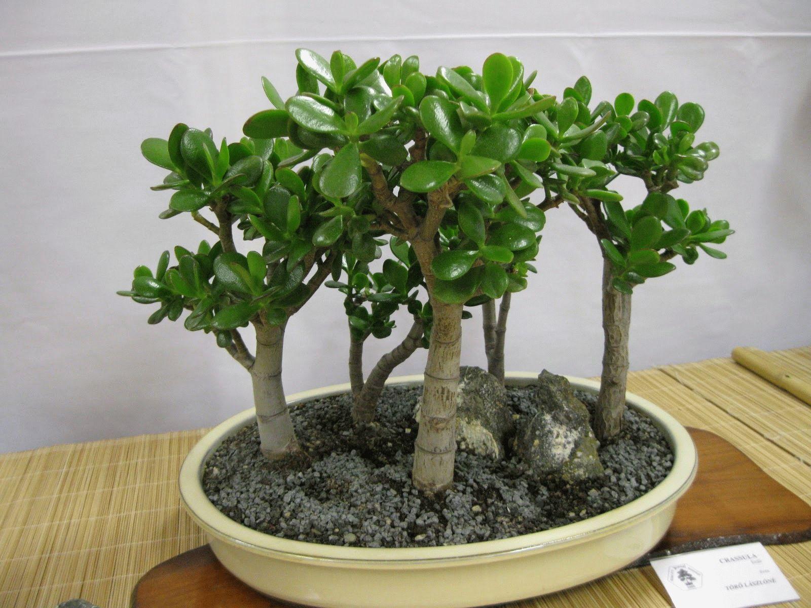 Фото денежное дерево как ухаживать в домашних условиях